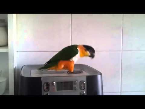 This Parrot Has Some Serious Irish Riverdancing Skills….